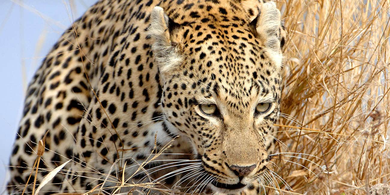 På safariresor i Afrika kan man få chansen att se leoparder