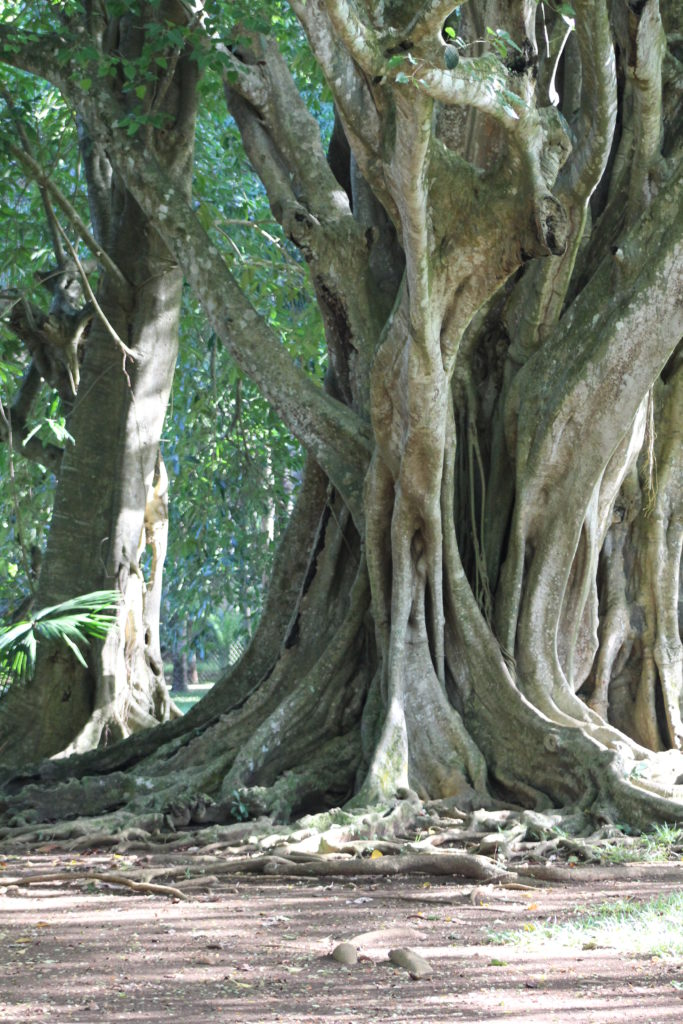 Kanske ser du detta träd på en paketresa till Mauritius