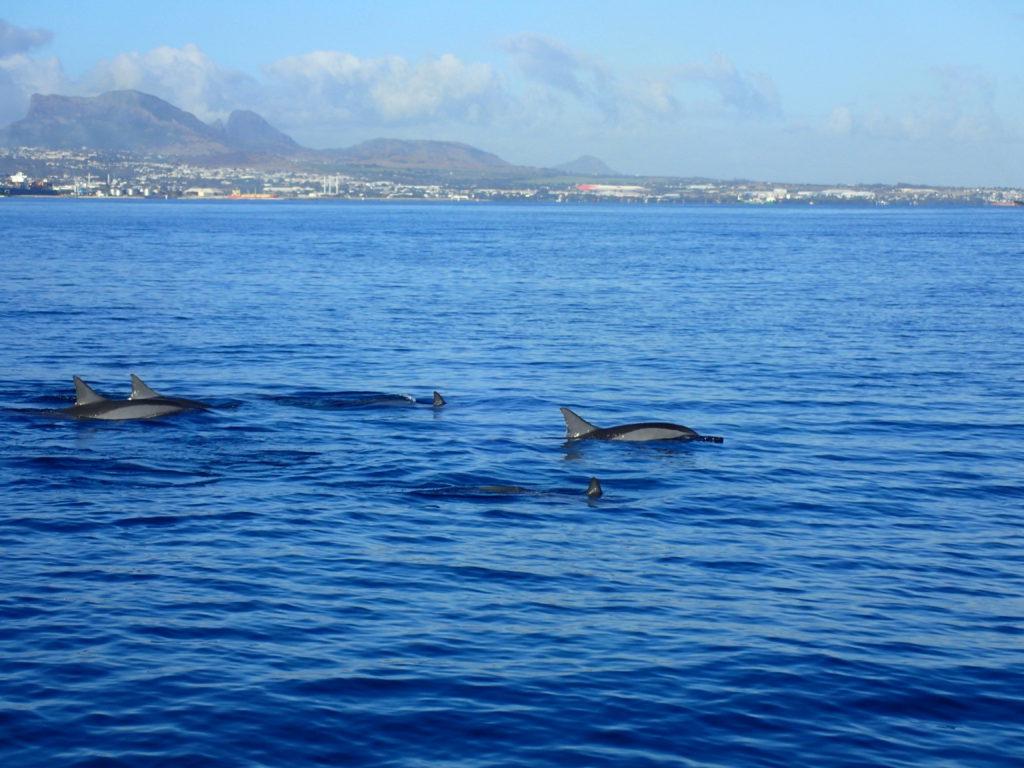 Delfiner som simmar i vattnet