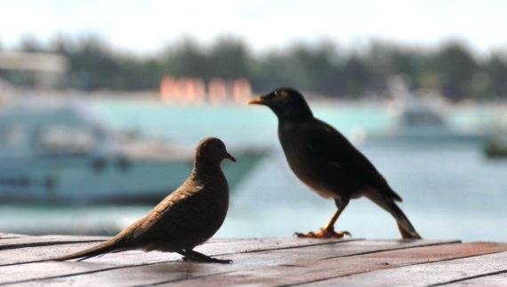 Vissa är flyttfåglar från Sverige