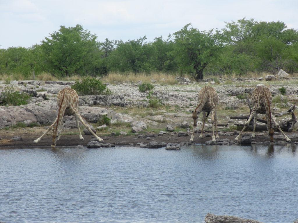 Giraffer som dricker längst vattendrag