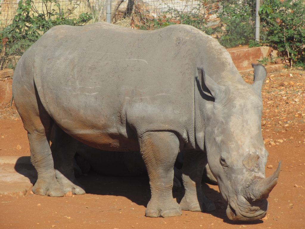 Noshörningar är lika stora och starka som de ser ut