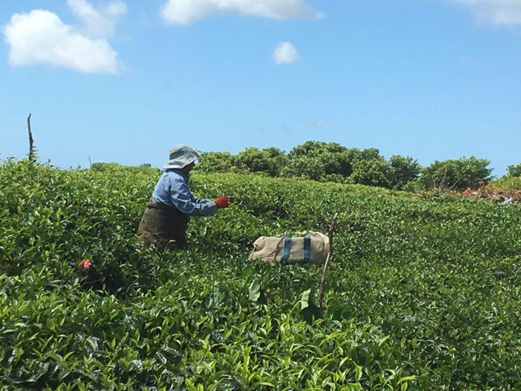 Terrängen på Mauritius består till stor del av gräs och växter