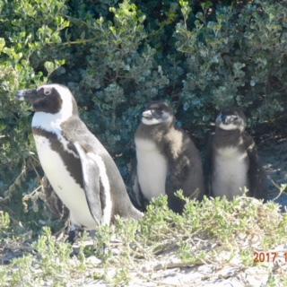 Pingviner finns inte bara på Nordpolen