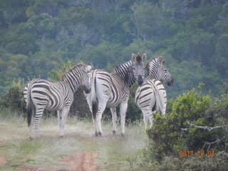 Vi fotograferar Zebror ute i vildmarken i Afrika