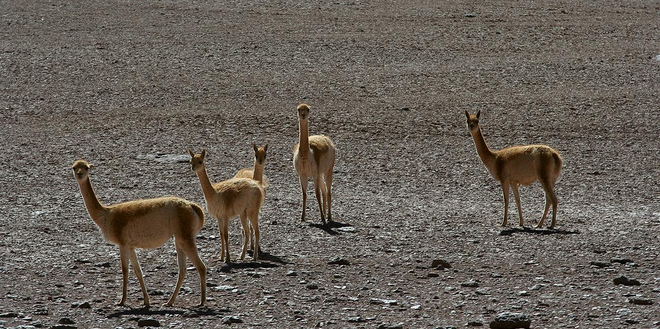 Det finns många gulliga djur i Chile
