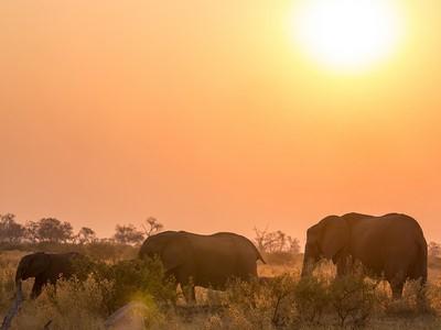Elefantsafar på savannen i Botswana