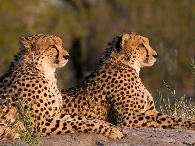 Leoparden - en i big five du kan få se på safari