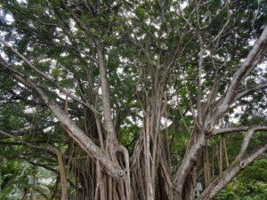 Ett banyanträd på Banyan Tree Resort