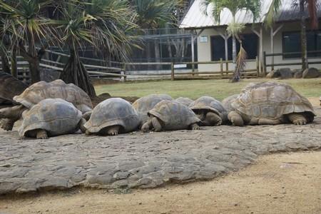 Sköldpaddor på Vanille Crocodile Park, Mauritius