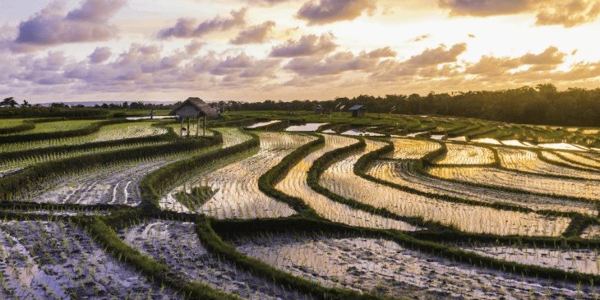 På Bali ligger man risigt till